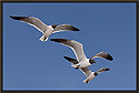 Laughing Gulls 1608